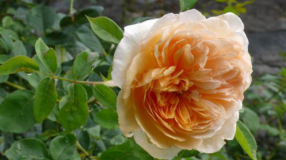 Rosa Gialla, entrata lato giardino,