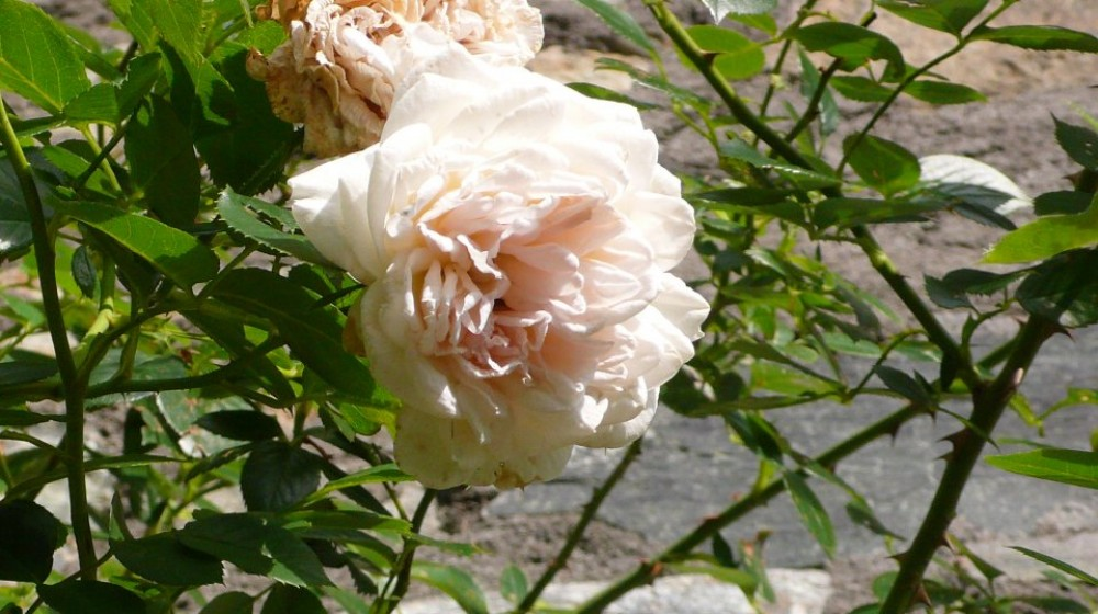 Rosa Bianca, entrata indipendente, lato giardino, matrimoniale o tripla.