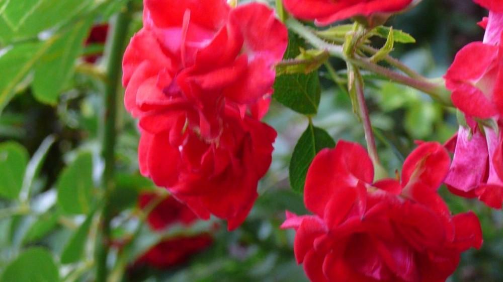 Rosa Rossa, bilocale attrezzato, indipendente, piano terra.